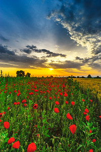 Beautiful red poppies field sunrise panoramic view, Alsace, France