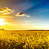 Majestic colorful sunset over the yellow fields