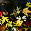 Colorful maple leaves flowing on the surface of water in little pond