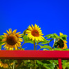 Beautiful sunflower on blue sky background, summer day