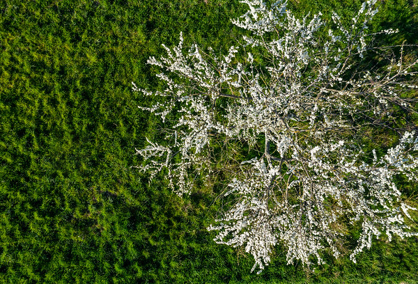 Blooming trees, white balls on a background of green grass. Apple trees, cherries. Top view from the drone. Alsace.