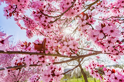Pink sakura flowering in France, springtime
