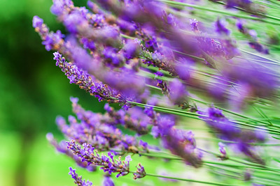 Lavender violet  flowers in the garden, summer day