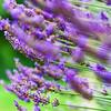 Lavender violet  flowers in the garden, summer day