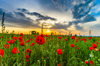 Colorful landscape at sunrise: sun, red poppies and blue sky