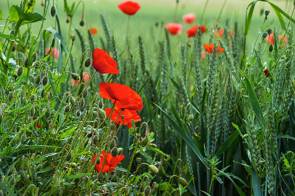 Blooming red poppies on blue sky background. Bumblebees, sun, spring, nature.