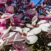 Magnolia flowering in France, springtime