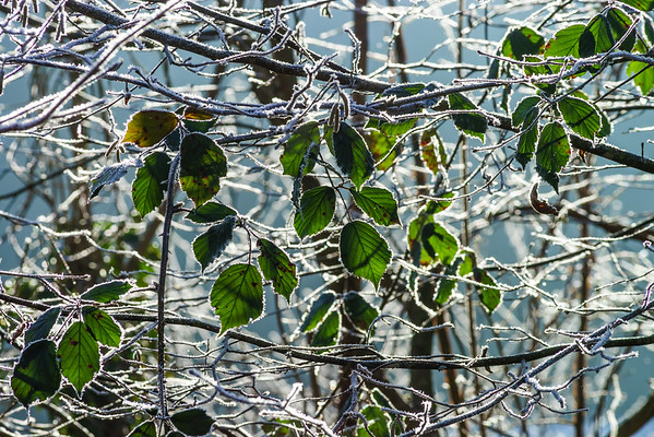 Last green leaves covered by white frost