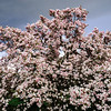Pink magnolia flowers on big tree, stormy weather