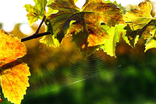 Spider net on grape leaves
