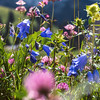 Mountain wildflowers, blue bells, clover. Delicate photography.