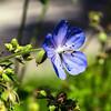 Single blue flower in a field