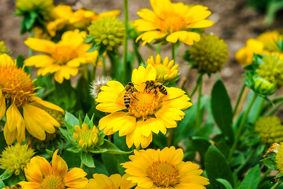 Beautiful yellow flowers and bees in the garden