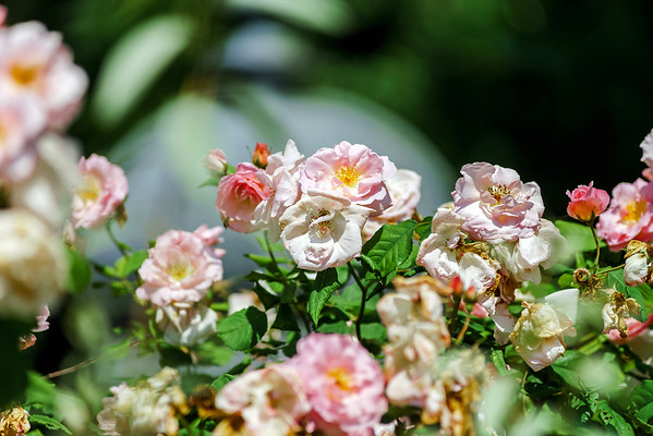 Botanic garden with blossom roses, Alsace