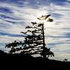 Beautiful pinetree silhouette on sunset background