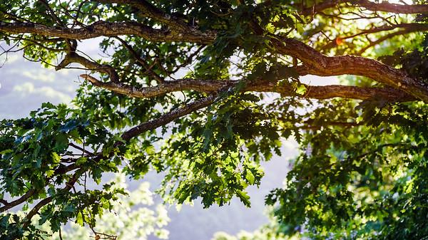 Great sun light through the oak leaves
