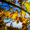 Sun light through the yellow oak leaves