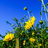 Vivid colors of yellow summer flowers on blue sky background