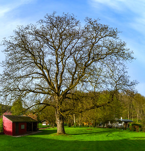 Great walnut-tree early spring day, sunny and warm