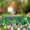 Colorful tulips on blured background, riverside, Namur, Messe