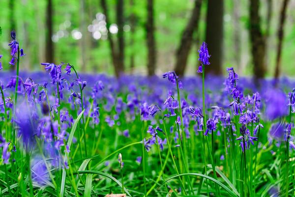 Magic blue forest near Bruxelles, springtime flowering