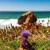 Blossom flowers on ocean coastline in Portugal