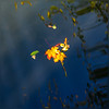 Autumn maple leaf on the blue lake water