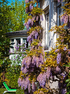 Stunning blooming lilac wisteria on the streets of Strasbourg. The colors of spring.