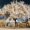 Single blooming cherry tree in infrared view