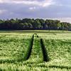 Bread-corn field over the sun