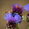 Xylocopa violacea is an amazingly beautiful huge bumblebee with blue wings. Sometimes called bumblebee carpenter