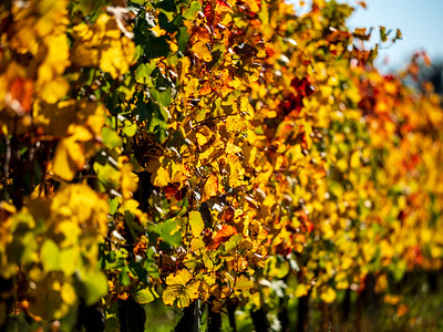 Colorful leaves of autumnal vineyards in Alsace, perspective view, sunny day.
