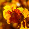 Colorful golden leaves of grape, Alsace