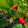 Ripe red strawberries in the garden. Harvesting in the fields.