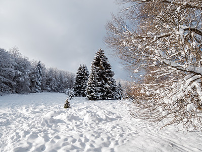 Fantastic winter landscape. Snow-covered huge spruces and white fields.