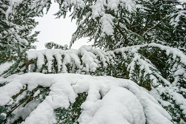 Beautiful pinetree snowcovered after big snowfall