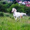 Beautiful white horse in a farm