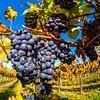Beautiful mature black grape on the sun, juicy harvest. Alsace, France. Colorful sunny picture.