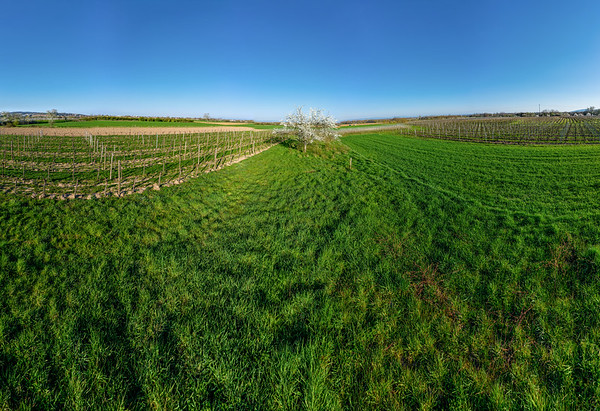 Blooming trees, green fields. Top view from the drone. Alsace. France. 360-degree.