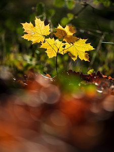The stunning beauty of autumn leaves. Sunny weather in the forest. November. Maple, oak.