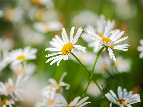 Garden white daisies in the bright sun. Macro. Soft and calm light, clean and pristine.