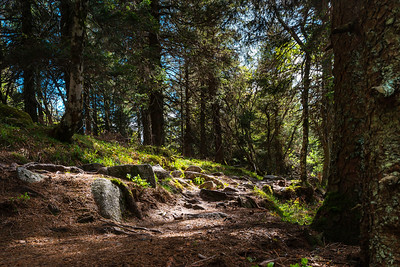 Forest road in the Vosges. Tree roots and stones. The sun's rays break through the branches of trees. The purity and pristine nature.