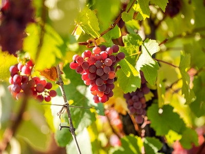 Juicy bunches of ripe grapes hang on the autumn vine. Sunny weather. Time before harvest. Wine production in Alsace.