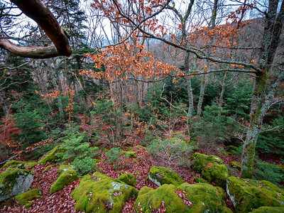 Winter forest in the Vosges mountains. Covered with green soft moss stones, red fallen leaves and beautiful oaks.