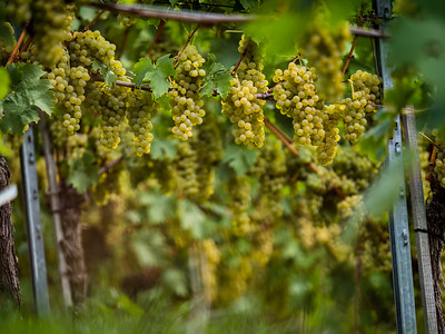 The grapes are ripe. Vintage season. Winemaking in Alsace.