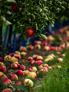 The apples are ripe. Apple picking season. Black Forest. Germany