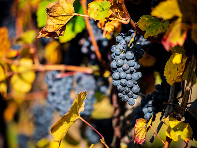 Beautiful mature black grape on the sun, juicy harvest. Alsace, France. Colorful sunny picture.