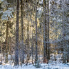 The sun breaks through the trees and illuminates the purest fresh white snow that covered the winter forest. Fairytale landscape