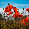 Red wild wild poppies on a background of blue cloudless sky and sun