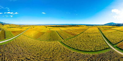 Panoramic view of the beautiful vineyards of Alsace in the fall. Bright yellow color prevails.